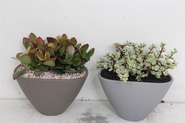 <h4>Arrangement Succulenten Ovaal Pot Grijs</h4>