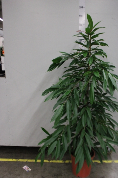<h4>Ficus binn. 'Amstel King'</h4>