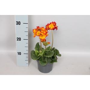 Primula elatior Crescendo 13cm Yellow Orange