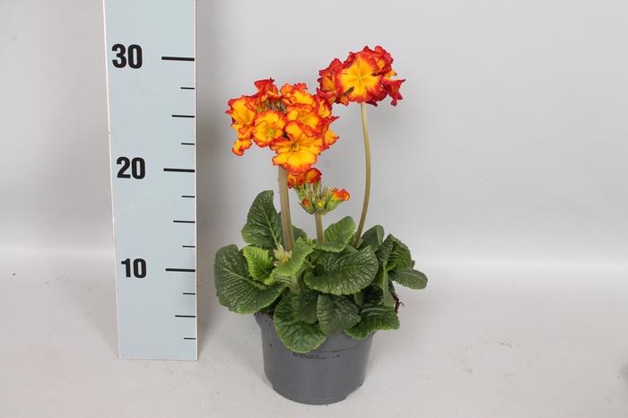 <h4>Primula elatior Crescendo 13cm Yellow Orange</h4>