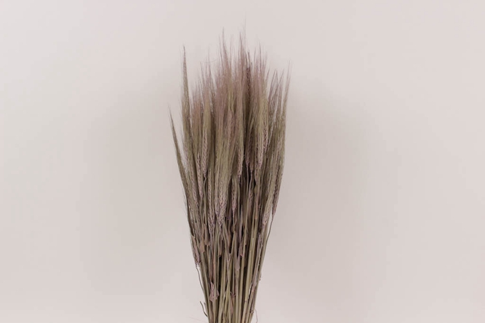 <h4>Hordeum per bunch Frosted Milka</h4>