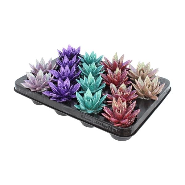 <h4>Echeveria coloured metallic mix + glitter</h4>