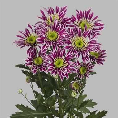 Chrysanthemum spray saba
