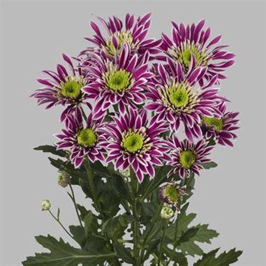 <h4>Chrysanthemum spray saba (R.OPORTO)</h4>