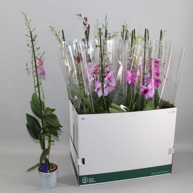 <h4>Dendrobium gemengd</h4>