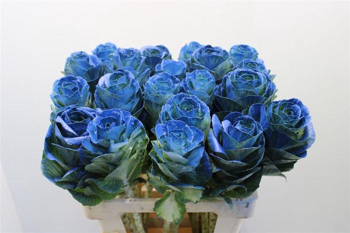 <h4>Brass Klb Blauw H%</h4>