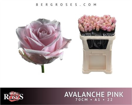 <h4>R Gr Avalanche Pink+ 22 (997)</h4>