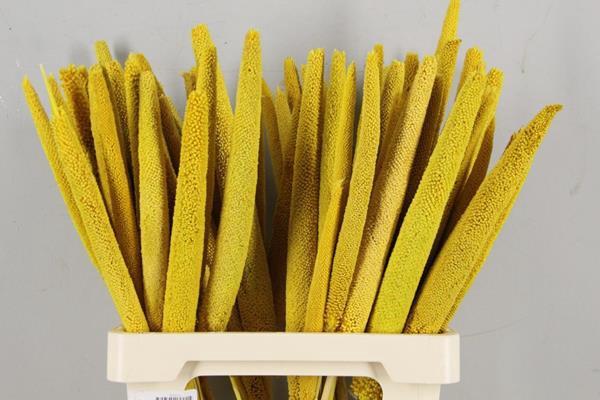 <h4>Df Babala Bright Yellow</h4>