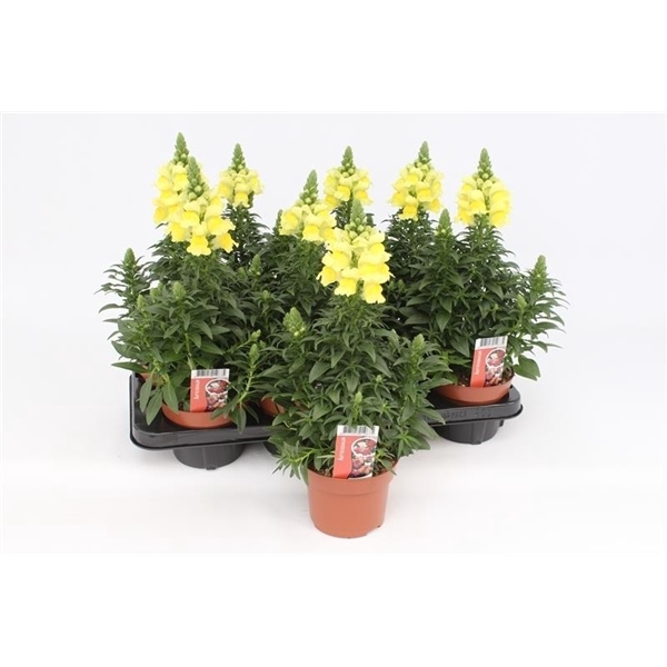 <h4>Antirrhinum Majus Yellow</h4>