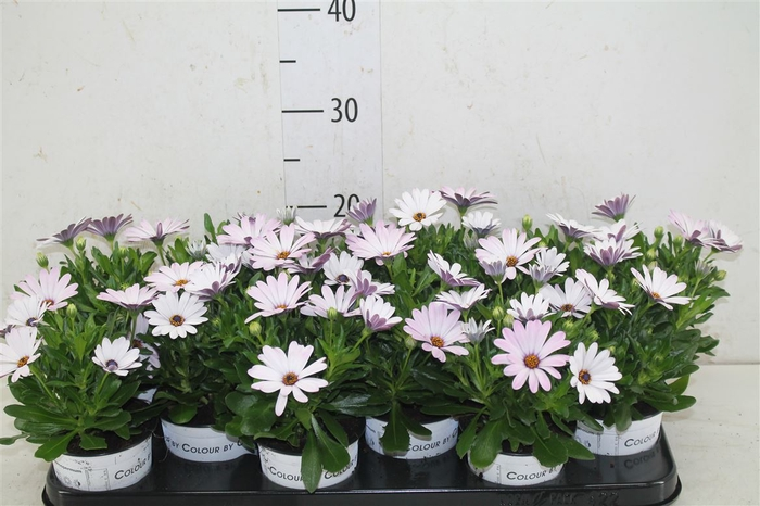 <h4>Osteospermum Wit Roze Bicolor</h4>
