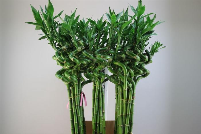 <h4>Lucky Bamboo Spiraal 100</h4>