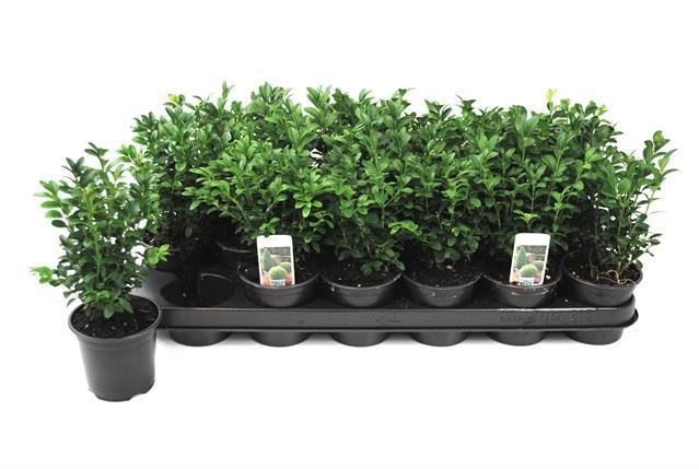 <h4>Buxus sempervirens</h4>