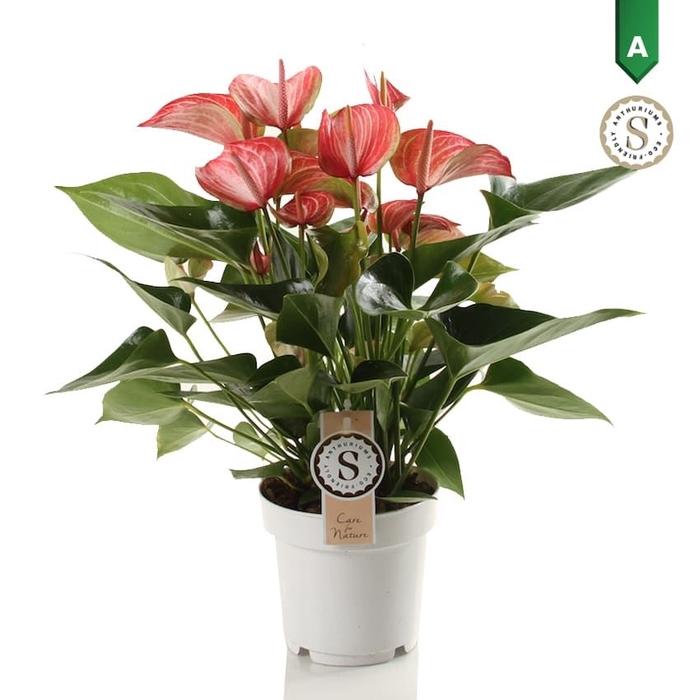 <h4>Anthurium Livium Red</h4>