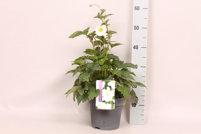 <h4>vaste planten 19 cm  Anemone Honorine Jobert</h4>