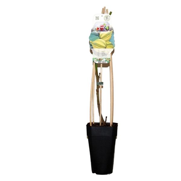 <h4>Ficus carica panachee</h4>
