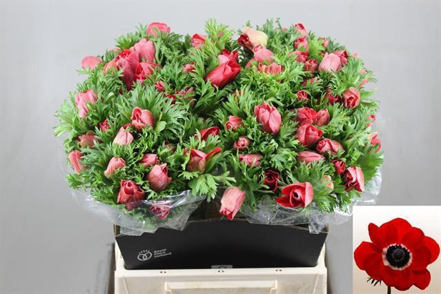 <h4>Anemone Marianne Red</h4>