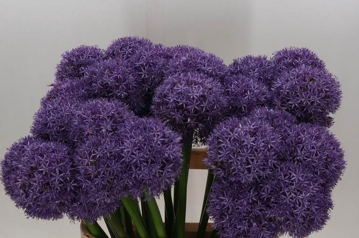 <h4>Allium Dutchman</h4>