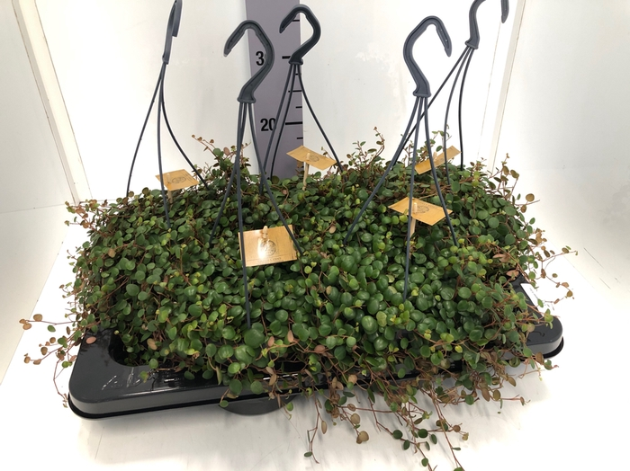 <h4>Peperomia Pepperspot 15Ø 25cm</h4>