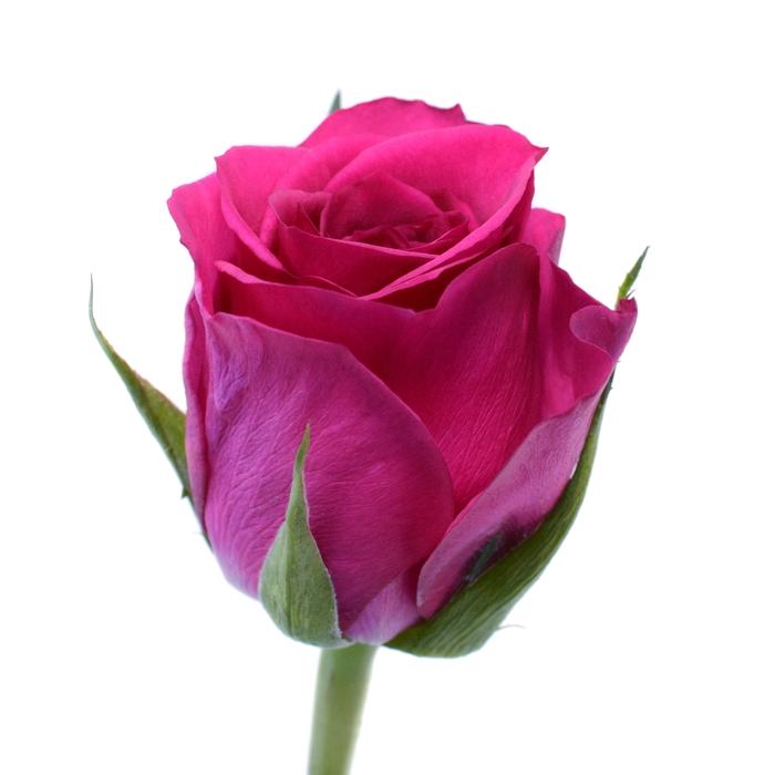 <h4>Rose Fuchsiana</h4>