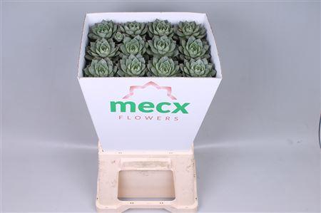 <h4>Echeveria Fabiola (mecx Flowers)</h4>