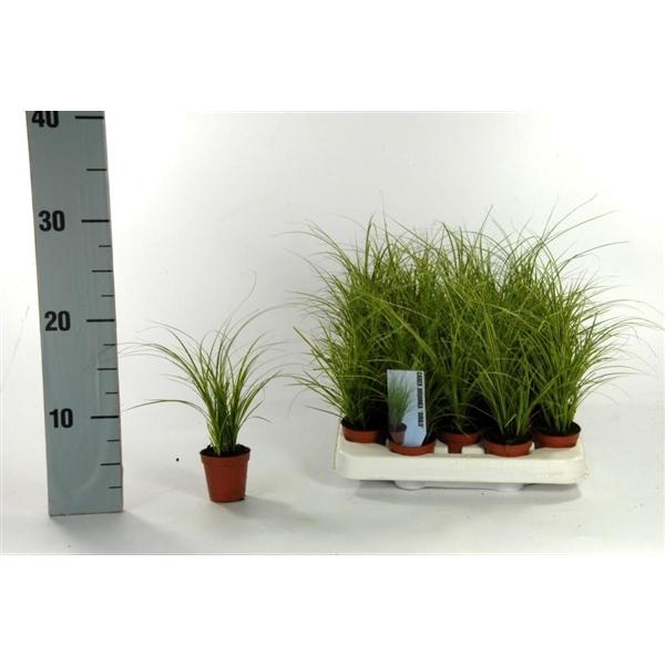 <h4>Carex brunnea 'Jubilo' p5,5</h4>