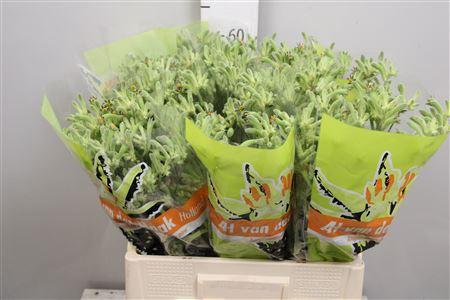 <h4>Anigoz Flavidus Green</h4>