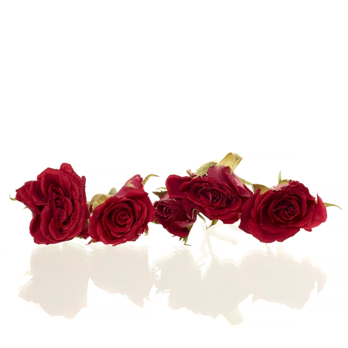 Sprayroses 20pc red