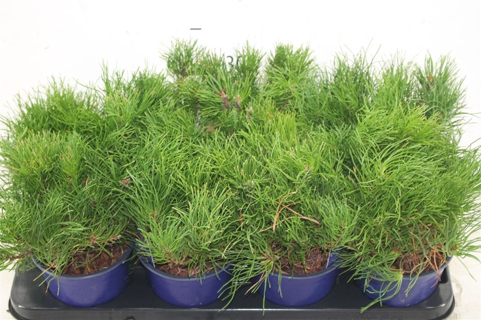 <h4>Pinus Mugo Mughus</h4>