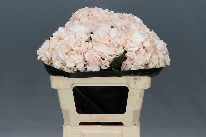 <h4>Hydrangea Pink Select</h4>