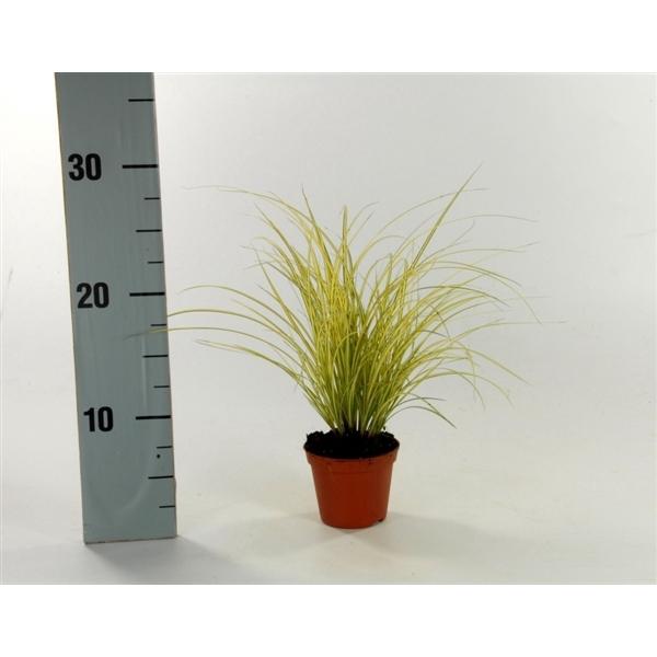 <h4>Carex brunnea 'Jenneke' p8</h4>