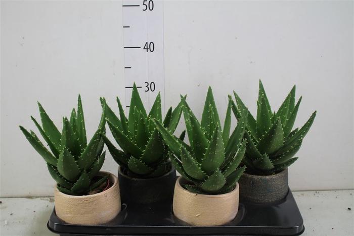 Aloe Mitriformis Madera Keramiek Mix