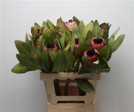 <h4>Protea Barb Black Beard</h4>