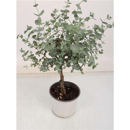 <h4>Eucalyptus Gunnii Stam</h4>