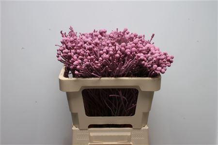 <h4>Kaaps Brunia Silver New Rose</h4>