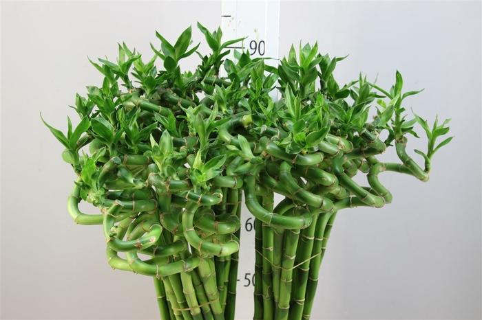 <h4>Lucky Bamboo Spiraal 80</h4>