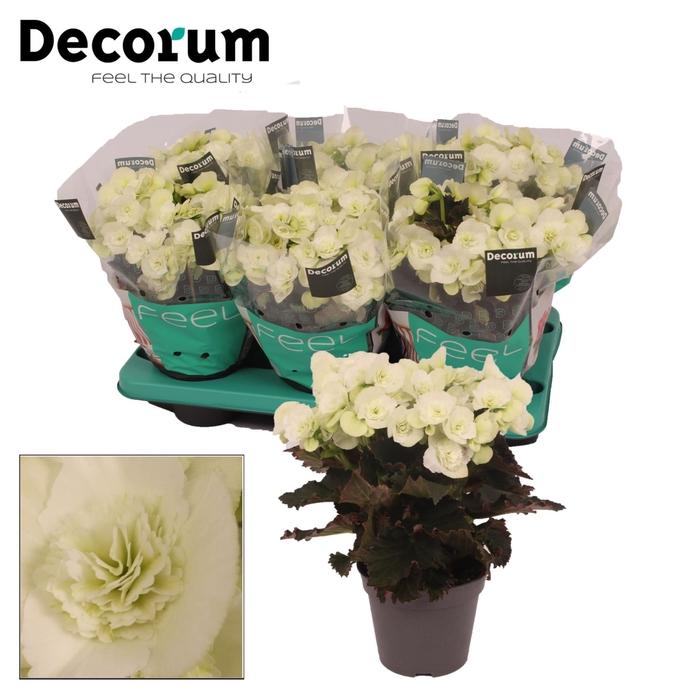 <h4>Begonia Elat. Move 2 Joy White</h4>