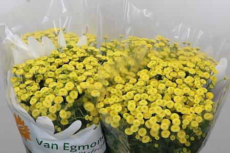 <h4>Tanacetum Yellow Amazone</h4>