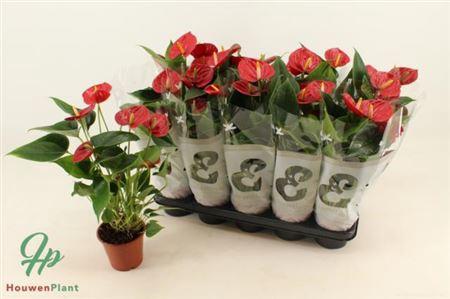 <h4>Anthurium An Success Red</h4>