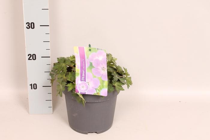 vaste planten 19 cm  Geranium Rozanne
