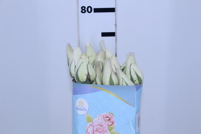 <h4>ROSA TINEKE 070 CM ESTUFA</h4>