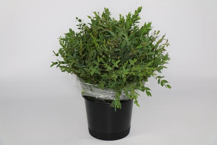 <h4>Eucalyptus Parvifolia Kort</h4>