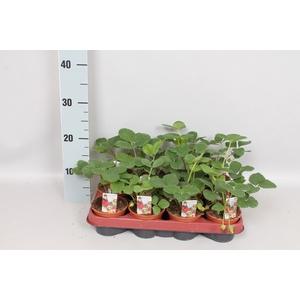 Aardbei / Fragaria 9cm