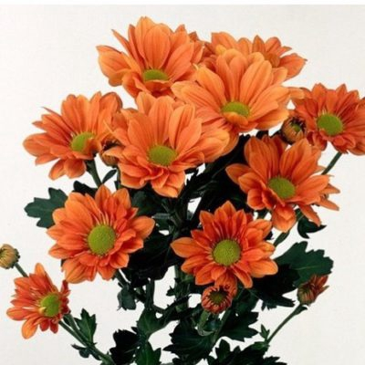 Chrysanthemum spray bacardi naranja