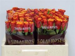<h4>Rose Espana</h4>