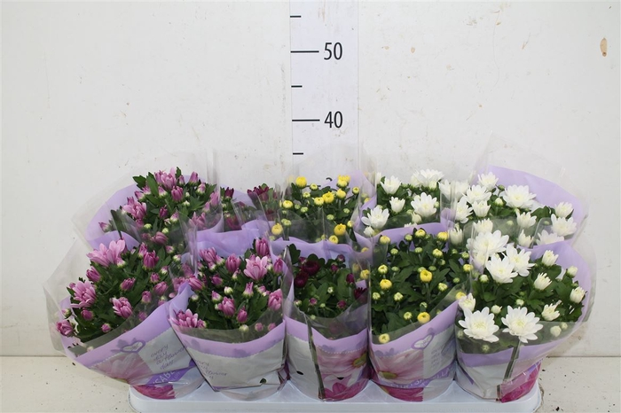 <h4>Chrysanth Gemengd Gevuld</h4>