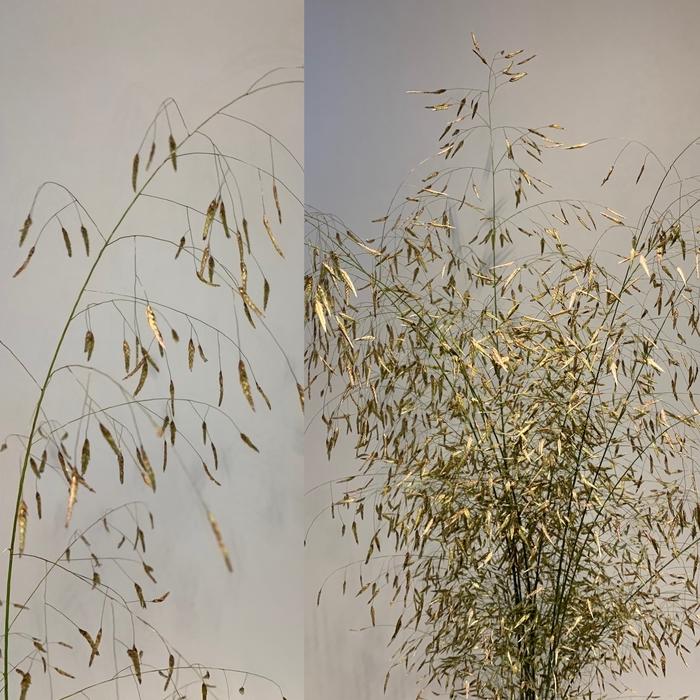 <h4>Grasses - Eragrostis</h4>