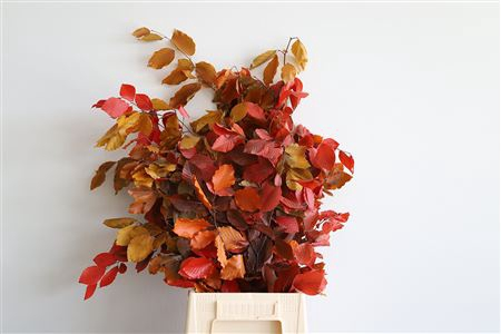 <h4>Dried Beech Autumn Preserved</h4>