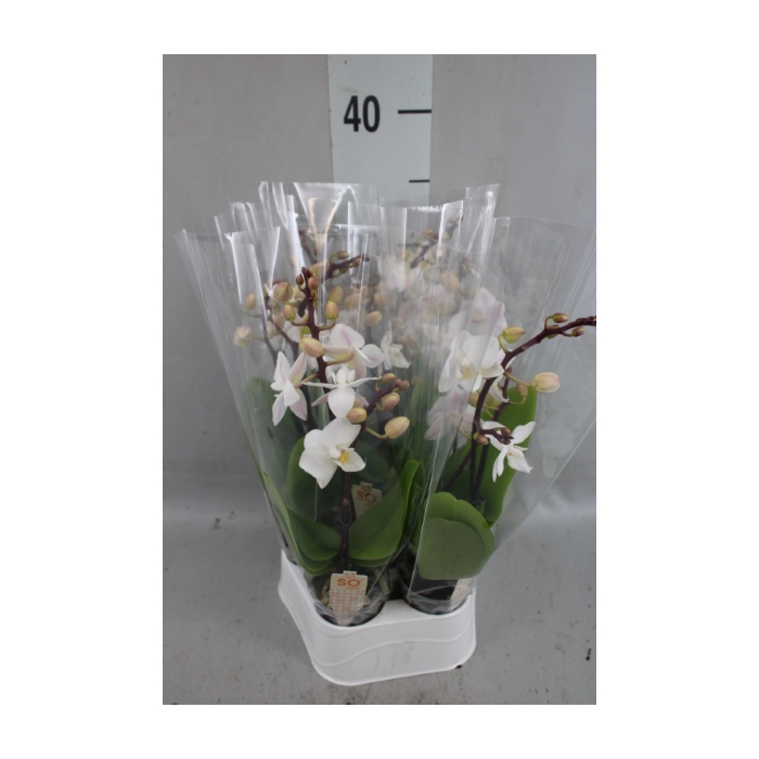 <h4>Phalaenopsis   ...mini</h4>