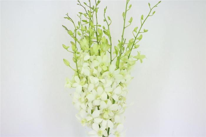 <h4>Dendro White Sg</h4>