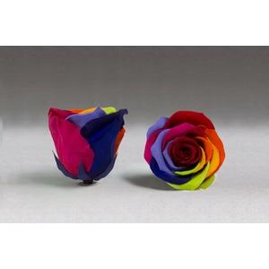 Rose stab. XXL rainbow